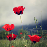 Red Poppies grow - toned effect. royalty free stock photos