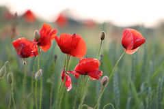 Red poppies grow on wheat lawn Royalty Free Stock Image