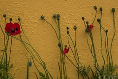 Red poppies growing against amber coloured wall, symbol of remembrance of the Great War, World War One. stock photos