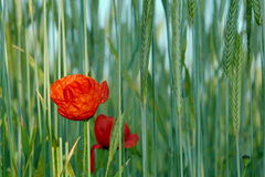 Red poppies growing in crops Stock Photo