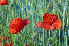 Red poppies growing in crops Stock Image