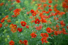 Red poppies growing in a meadow in spring. Travel, red, tourism, map, background, europe, Kazakhstan, july, may, green, red, poppy, field, spring, summer Stock Photo