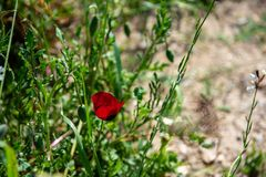A red poppy in a meadow, Greece. stock image