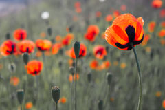 Red poppies. Growing wild in the field Stock Photography