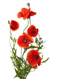 Red poppies isolated on white Royalty Free Stock Images