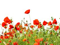 Red poppies isolated on white background.  stock photos