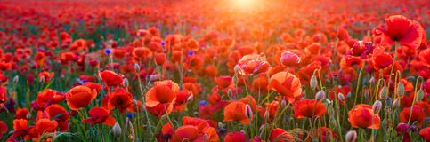 Red poppies in the light of the setting sun,high resolution pano Stock Image