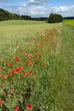 Red poppies lining the field path to the forest Stock Photography