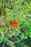 Red poppies. Little red poppies in grass Royalty Free Stock Photos