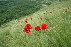 Red poppies Stock Photos