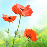 Red poppies in the meadow Stock Images