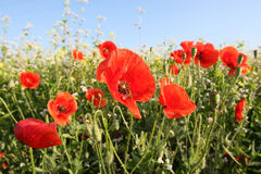 Red poppies on the meadow Royalty Free Stock Photo