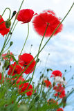 Red poppies on the meadow Royalty Free Stock Photos