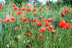 Red poppies on a meadow. Bright summer photo Royalty Free Stock Image