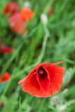 Red poppies on a meadow Stock Images