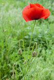 Red poppies on a meadow Stock Photo