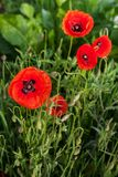 Red poppies on a meadow Stock Photos