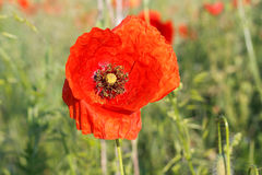 Red poppies in the meadow Royalty Free Stock Photo