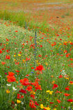 Red poppies among the meadow Stock Images