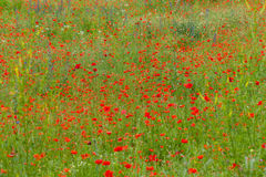 Red poppies among the meadow Royalty Free Stock Photo