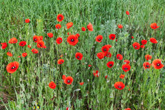 Red poppies on a meadow Royalty Free Stock Images