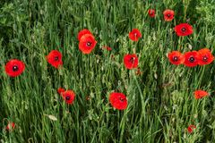 Red poppies on a meadow Stock Image