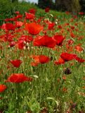 Red poppies on a meadow Royalty Free Stock Photography