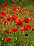 Red poppies on a meadow Royalty Free Stock Photo