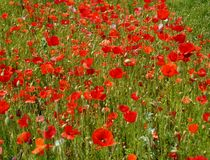 Red poppies on a meadow Stock Photography