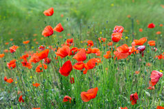 Red poppies at  meadow in spring Royalty Free Stock Photos