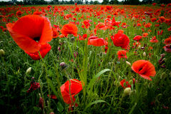 Red poppies on a meadow Royalty Free Stock Photos