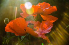 Red poppies in the morning light. large red petals stock photos