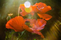 Red poppies in the morning light. large red petals stock photography