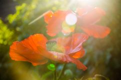 Red poppies in the morning light. large red petals stock photo