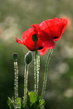 Red poppies. In nature, vertical composition, Close up of beautiful  among green grass Royalty Free Stock Photos