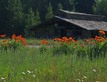 Red Poppies and Old Building Royalty Free Stock Image