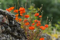 Red poppies on an old stone wall Royalty Free Stock Image