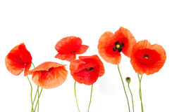Red Poppies On White Royalty Free Stock Photography