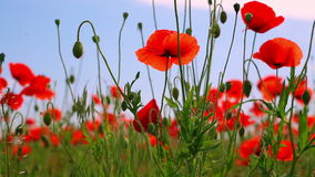 Red Poppies and Other Steppe Vegetation Stock Photo