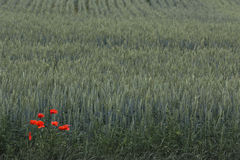 Red poppies over wheat background Stock Photography