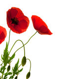 Red poppies over white background Royalty Free Stock Photo