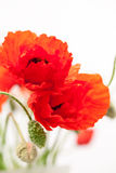 Red poppies Papaver rhoeas and buds Royalty Free Stock Photo
