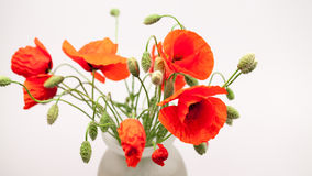 Red poppies Papaver rhoeas and buds Royalty Free Stock Photography