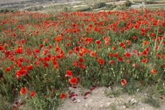 Red poppies Papaver rhoeas royalty free stock photos