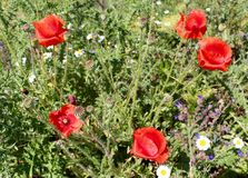 Red poppies - Papaver rhoeas Royalty Free Stock Images