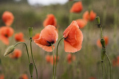 Red Poppies Papaver Rhoeas in Scotland. Royalty Free Stock Image
