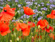 Red poppies photo Stock Images