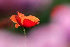 Red poppies. Red poppy flower with back light Stock Image
