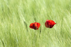 Red poppies. Royalty Free Stock Image
