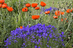 Red Poppies and Purple Flowers Stock Photo